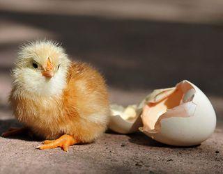 Вакцинувати птицю проти хвороби Марека рекомендовано в добовому віці