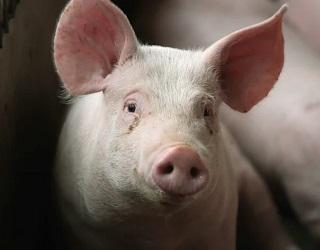 Цього тижня живець свиней дещо впаде в ціні