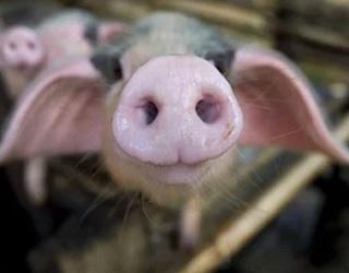 Німецькі інвестори хочуть збудувати свинокомплекс на Львівщині