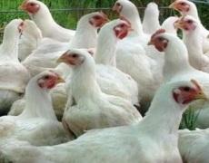Як діагностують дефіцит вітаміну К у птиці