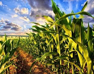 Цього року врожайність кукурудзи та сої в Україні зменшиться