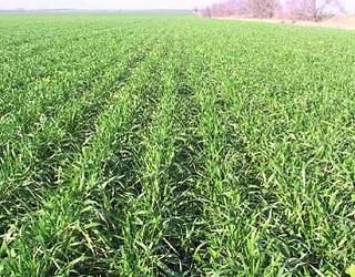 Тепла погода сприятиме розвитку бурої листкової іржі озимої пшениці