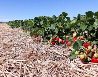«Українська ягода» подвоїть площі насаджень суниці