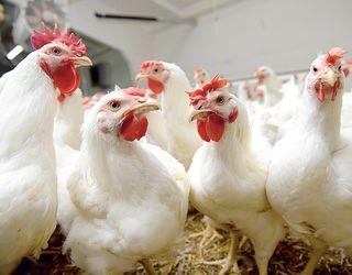 Гіпохлорит натрію можна використовувати для лікування сечокислого діатезу в птиці