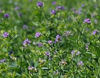 Перед сівбою багаторічних трав важливо провести якісний обробіток ґрунту