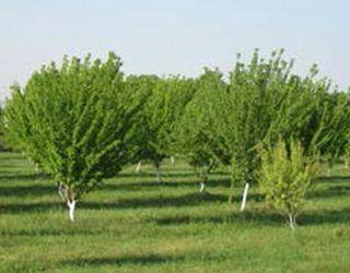 Під абрикосом необхідно розпушувати ґрунт