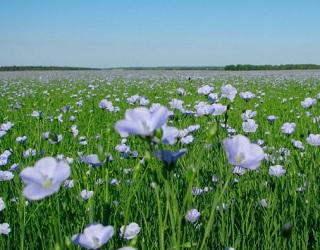 Через бур'яни можна втратити до 66% врожаю льону