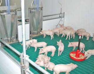 Найбільшим попитом серед племінних свиней користуються термінальні тварини