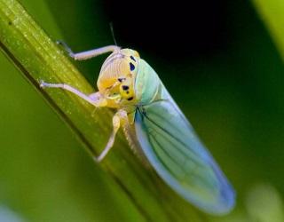 Цикадки є потенційними переносниками вірусу карликовості пшениці