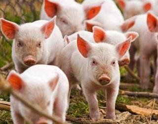 KSG Agro планує майже вдвічі збільшити поголів'я свиней