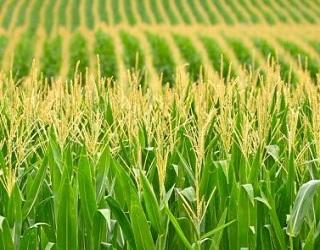 Важливим елементом технології вирощування кукурудзи є термін її сівби