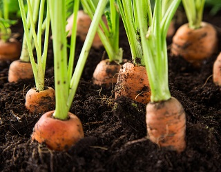 Для захисту від морквяної мухи моркву можна вирощувати з кропом чи цибулею