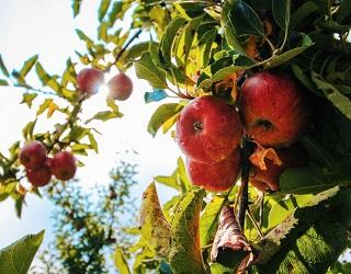Як визначити вміст елементів живлення у листі яблуні