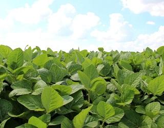 Загортання у ґрунт рослинних решток сої знижує інфекційне навантаження в 2-3 раза
