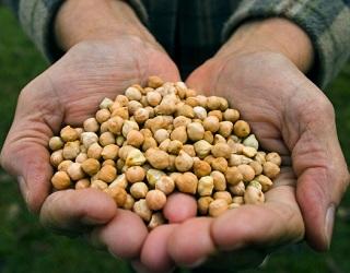 Терміни сівби впливають на врожай нуту