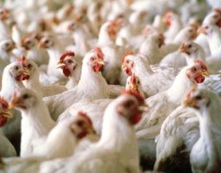 Успішна вакцинація поголів'я птиці починається з моменту, коли вакцина потрапляє в господарство
