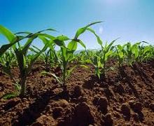 У ранні фази розвитку кукурудзи верхні шари ґрунту слід забезпечити поживними речовинами