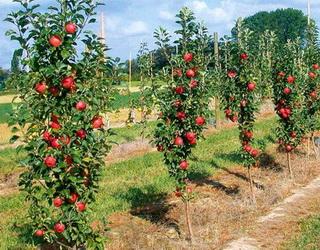 Для позакореневих внесень у саду яблуні застосовують одно- та багатокомпонентні добрива