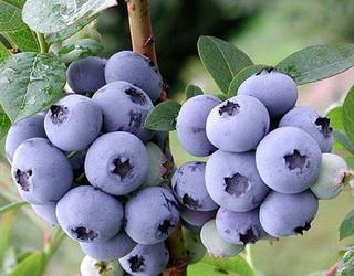 В Україні можуть з'явитися унікальні проекти з вирощування лохини для перероблення