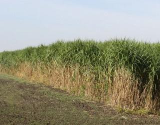 За роздільного збирання висота зрізання міскантусу має становити 15-20 см