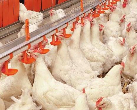 Фітонциди для птахівництва: спектр дії значно ширший, ніж у антибіотиків