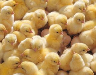 За аденовірусного гепатиту птиця або швидко одужує, або гине через 1-3 доби