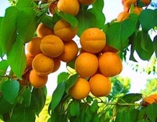 У спекотну погоду в абрикосовому саду не можна допускати тривалого дефіциту вологи