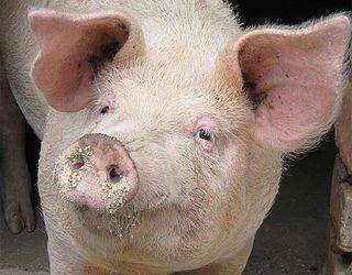 72% промислових свиней в Україні сконцентровано на 124 фермах