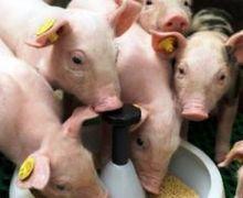 В Україні змінено порядок ідентифікації та реєстрації свиней