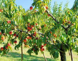 Персику на третій-п'ятий роки потрібні численні зелені операції
