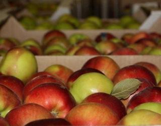 За якої щільності м'якуша яблука не варто експортувати на віддалені ринки