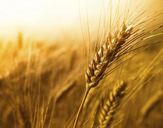 Спека погіршила умови наливу зерна ранніх колосових культур