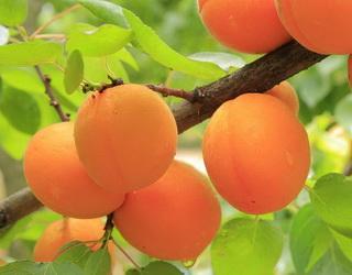 Одеський «Прайм Фрут» закладе сад абрикоса самозапильних сортів