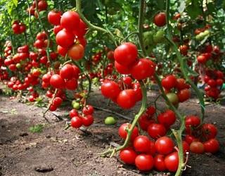 Дефіцит хлору спричиняє в'янення молодих листків томату