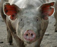 Наявність компартменту у свинарського підприємства дозволить знизити ціну залучення кредитів