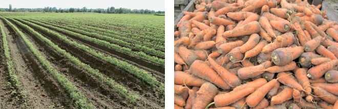 Морква на гребенях і грядах