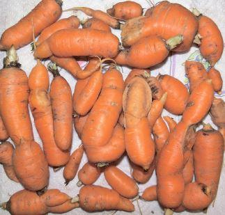Чому багато нетоварної моркви?