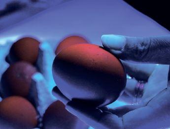 Обробка інкубаційних яєць