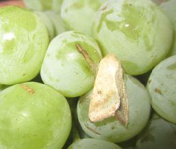 Сисні шкідники винограду