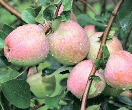 Фізіологічні й технологічні основи запобігання періодичності плодоношення, стабілізації продуктивності насаджень і підвищення якості й лежкості плодів яблуні   (р)