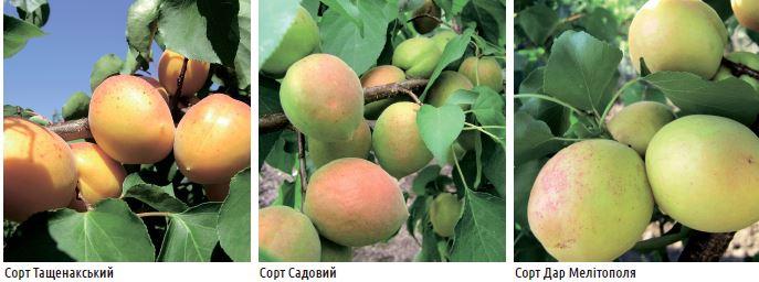 Південний абрикос
