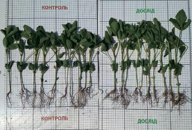 Мікориза — ефективний засіб підвищення врожайності сільськогосподарських культур