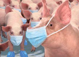 Свині не винні