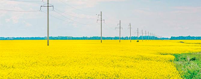 Safecross-гібриди ріпаку озимого компанії «Сингента»: з турботою про врожай