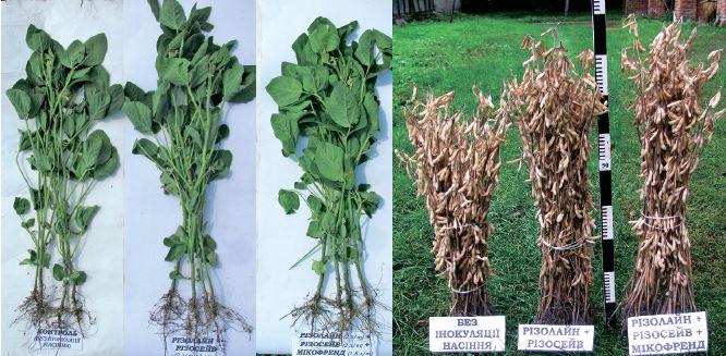 Ефективність комплексного мікоризного препарату в технології вирощування сої