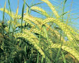Підтягнути якість зерна