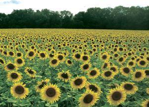 Соняшник під сонцем