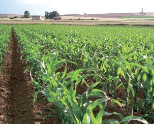 Підживлення кукурудзи