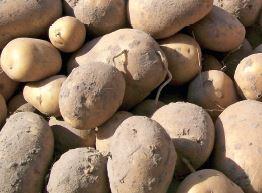 За якою картоплею майбутнє ?