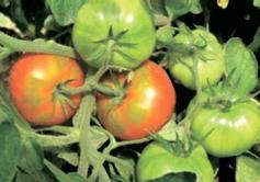 Як прискорити дозрівання томатів